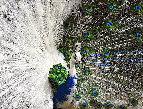 White-blue hybrid peacock