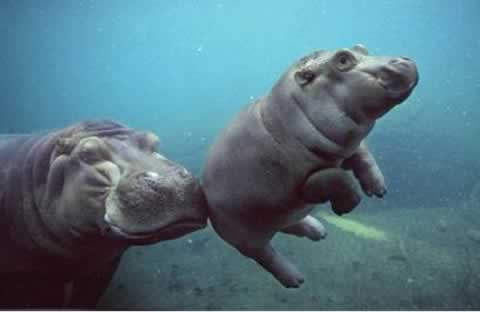 "The image ""http://www.neatorama.com/images/2006-02/baby-hippo.jpg"" cannot be displayed, because it contains errors."