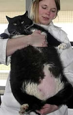 Mikesch, a German Fat Cat.