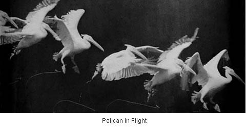 http://www.neatorama.com/images/2006-08/marey-bird-flight.jpg