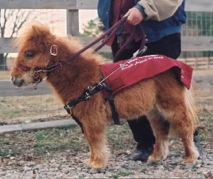 Miniature horse serves as guide for the blind