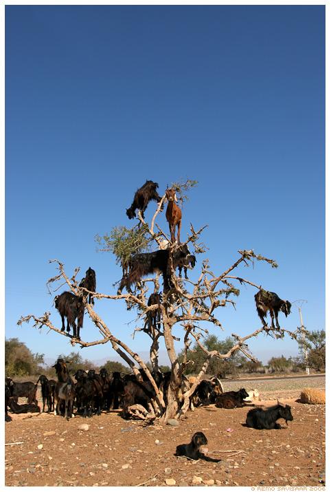 http://www.neatorama.com/images/2007-01/tree-goat-1.jpg