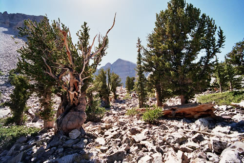 Prometheus bristlecone pine grove