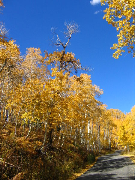Quaking Aspen Grove