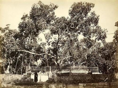 Banyan Tree which Buddha sat under