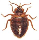 Bed Bug Mating Habits