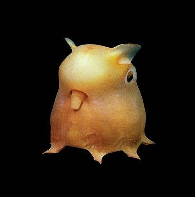 dumbo-octopus.jpg