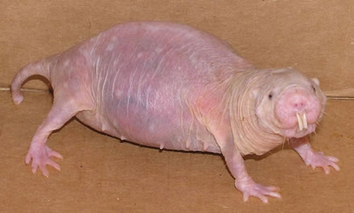 from africa mole-rat naked