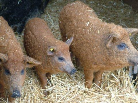 More Cute Woolly Pigs Neatorama