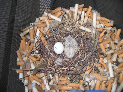 Cigarette Smoking Is Good For Birds Neatorama