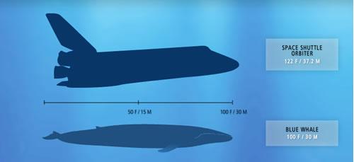 Blue Whale Fun Facts - Neatorama