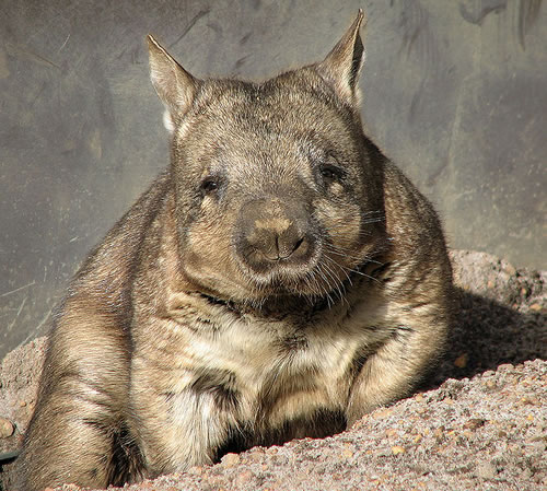 http://static.neatorama.com/images/2011-04/hairy-nosed-wombat.jpg