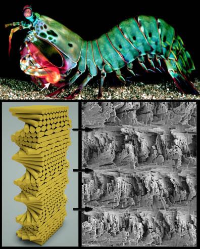 How The Mantis Shrimp Can Revolutionize Body Armor Neatorama