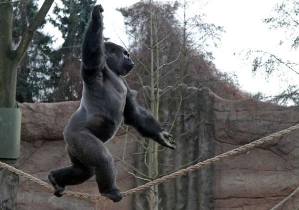 Meet Kidogo The Tightrope Walking Gorilla Neatorama