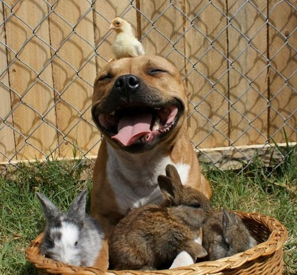[Image: boom-pitbull-bunny-chick.jpg]