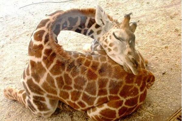 How Does A Baby Giraffe Sleep Neatorama
