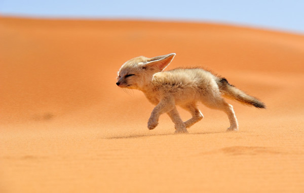 Fennec fox walking against the wind in Morocco