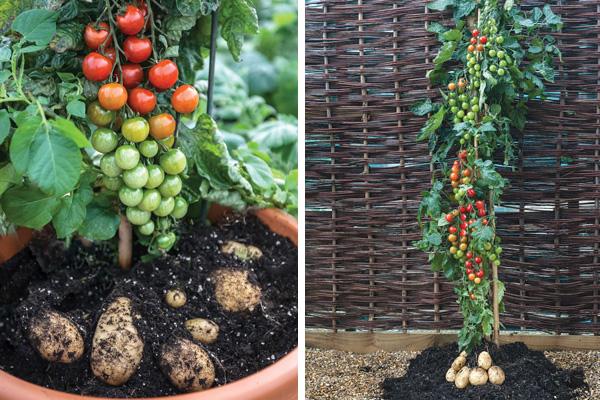 Baby Cherry Tomato Plant