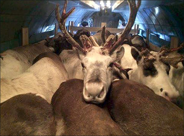 Reindeer on a Plane - Neatorama