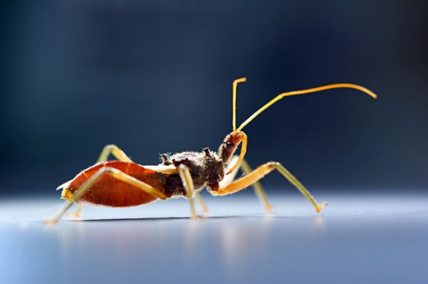 Assassin Bug Lives Up to Its Name, Has Not One But TWO Distinct Venoms