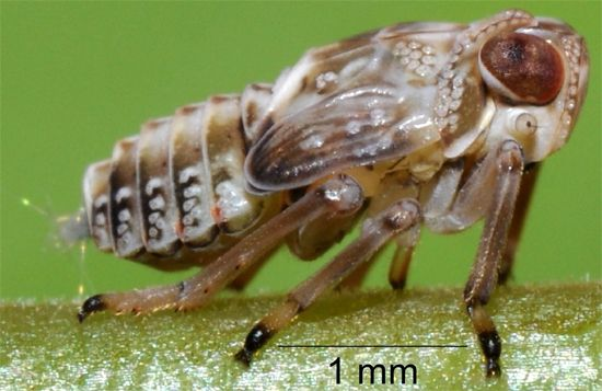 Insect Has Mechanical Gears in Its Legs