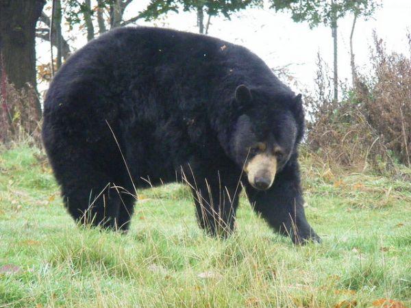 Bear Attacks Man, Man Grabs Bear's Tongue and Yanks on It