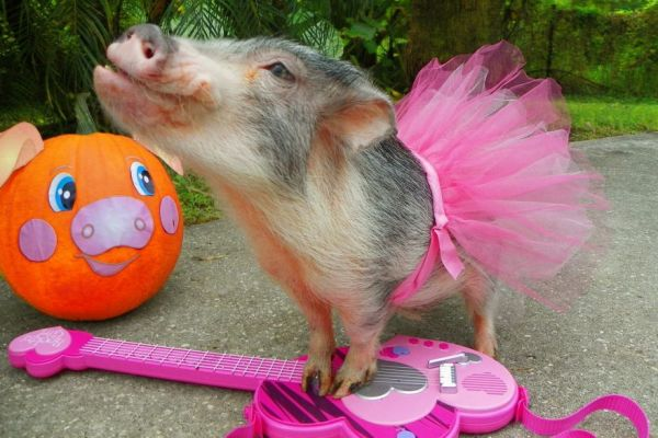 Adorable Pig Plays a Toy Piano and Guitar