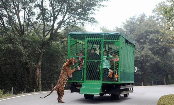 Crazy People Are Paying Money to Be Stalked by Hungry Lions and Tigers