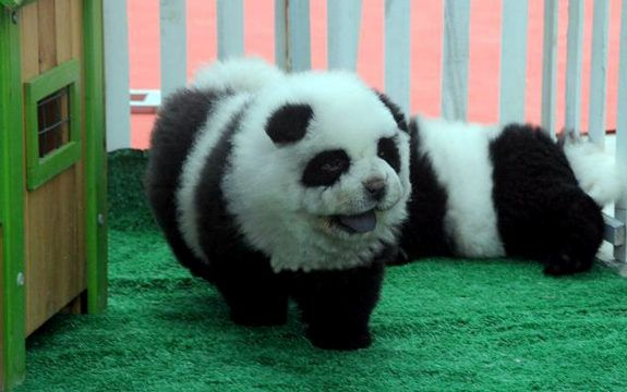 For Dogs That Look Like Pandas