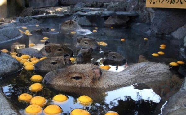 In Japan, Capybaras Get Treated to Yearly Hot Tubs