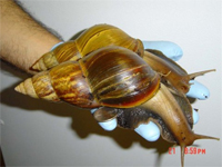 A pair of giant snails
