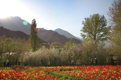 Iranian Tulip Garden
