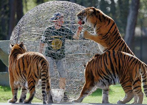 Crazy tiger stunt