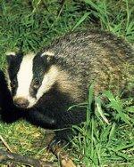 150_badger.