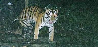 tiger-385_184818a.jpg