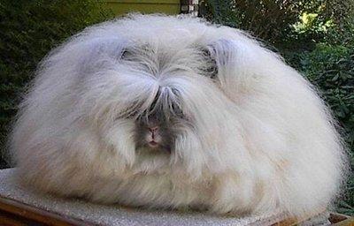 400_english_angora_rabbit.jpg