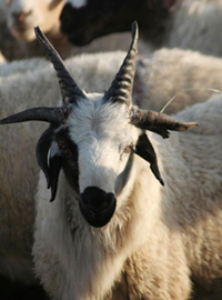 Goat Grows Six Horns Neatorama