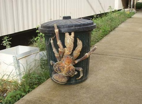 Weird Things Giant-coconut-crab