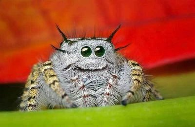 jumping-spider-eyes-9.jpg