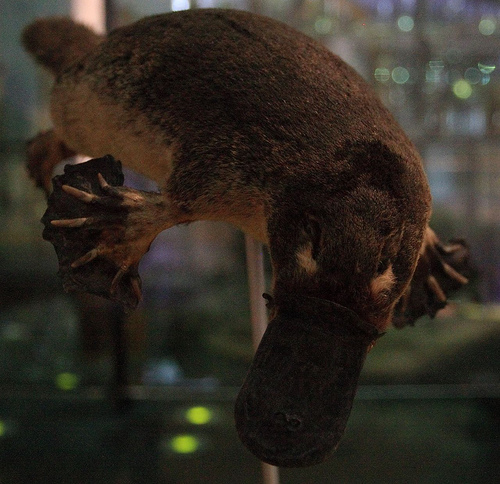 The Platypus Is Not A Fake. Photo Via Urville Djasim
