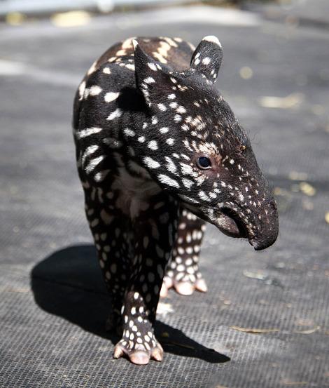 baby tapir naming competition