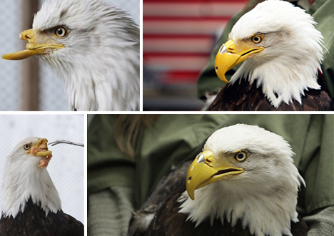 Bald eagle loses her b...