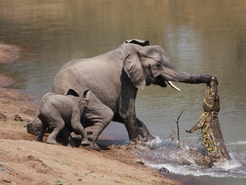 Elephant Crocodile Story Crocodile vs Mother Elephant
