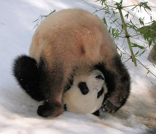 Pandas Playing In The Snow Neatorama