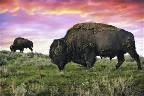 Last Wild Bison Herd In North America Facing Extinction