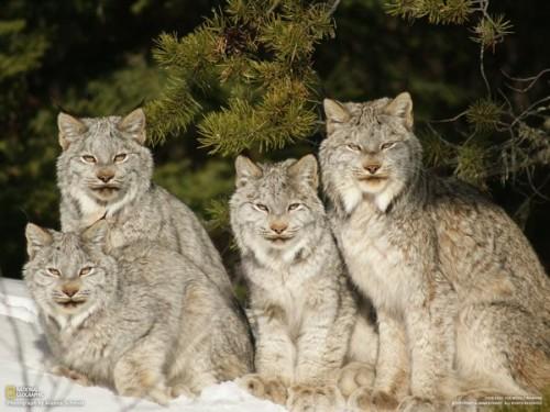 Lynx Wallpapers - Wallpaper Cave |Lynx Cat Family