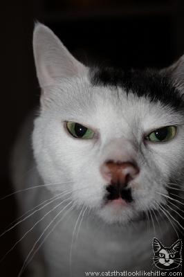 cat looks like hitler