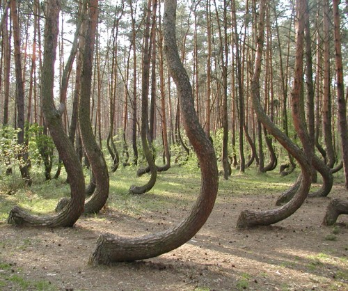 The crooked forest neatorama for Pine tree timber