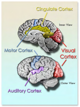 The Cingulate Cortex Does Everything Neatorama