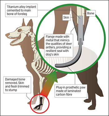 prothesis for dogs Read information on instracleral prosthesis in dogs and cats and treatment options for eye disease from bluepearl veterinary partners.
